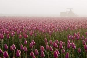 02:チュ−リップ畑の朝霧